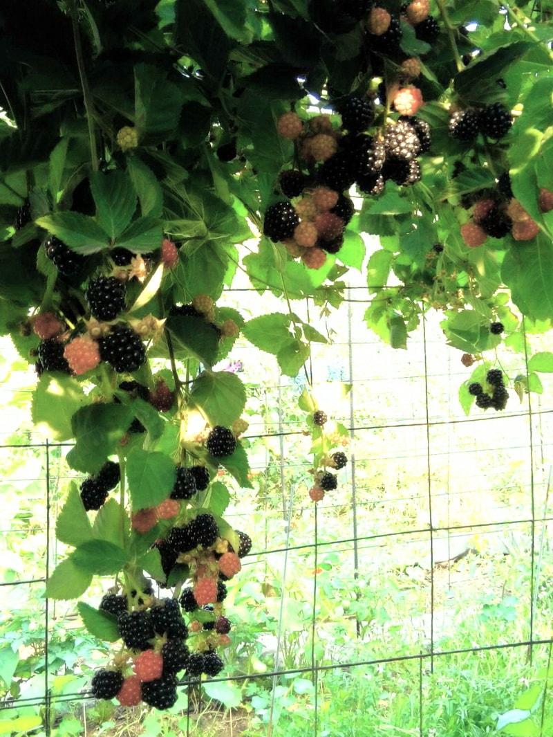ежевика садовая размножение черенками