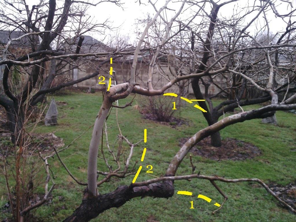 весенняя обрезка плодовых деревьев (схема)