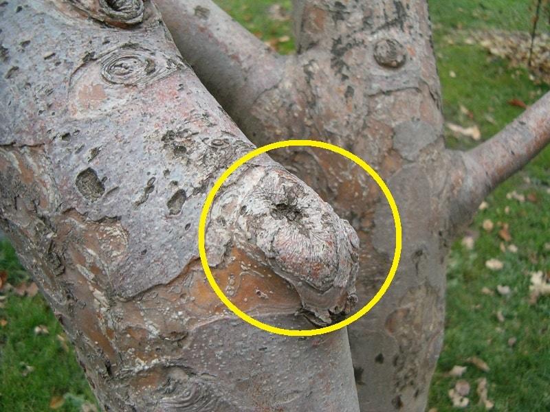 правила обрезки плодовых деревьев