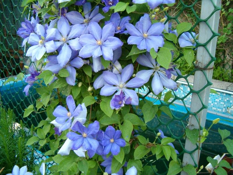 клематис голубой фото
