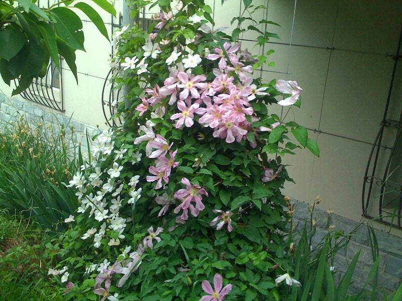 клематисы фото садоводов