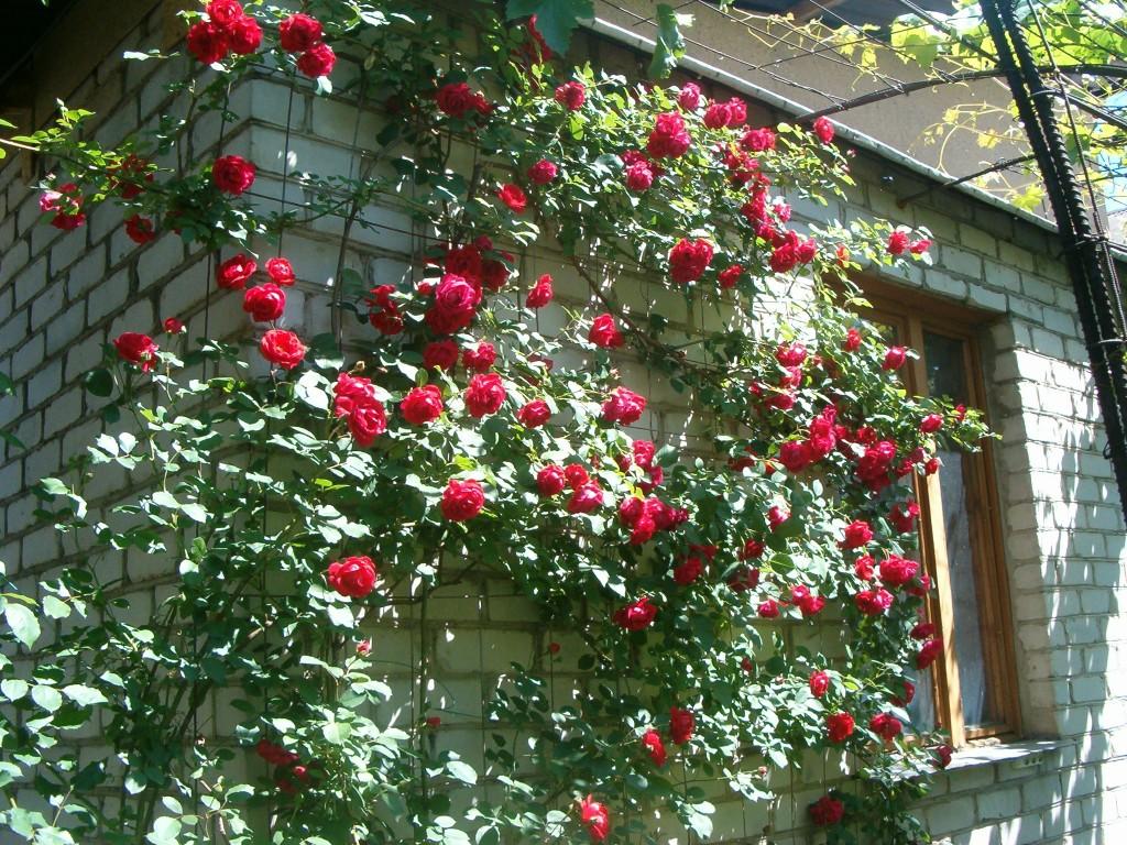Плетистые розы в сибири уход