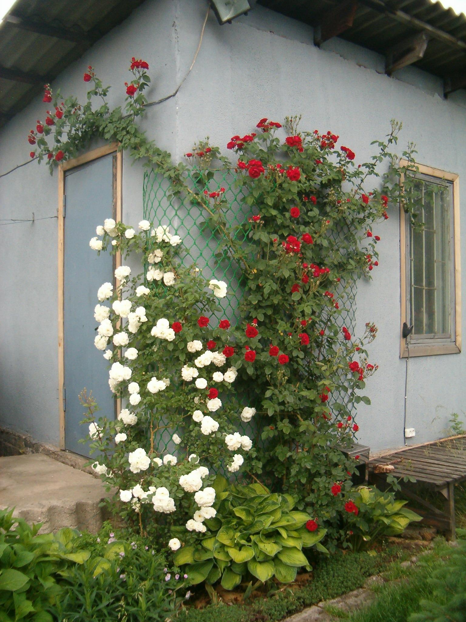Когда можно сажать розу плетистую 276