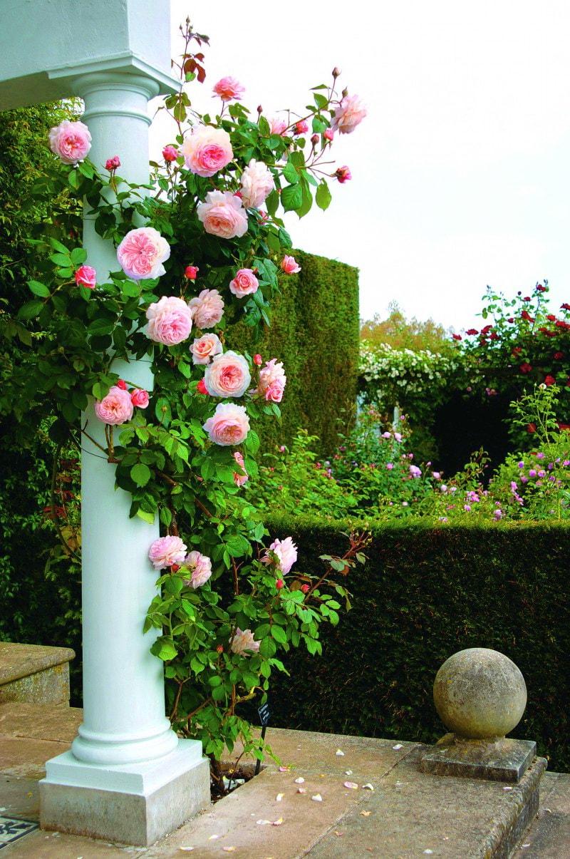 плетистые розы уход и выращивание на юге