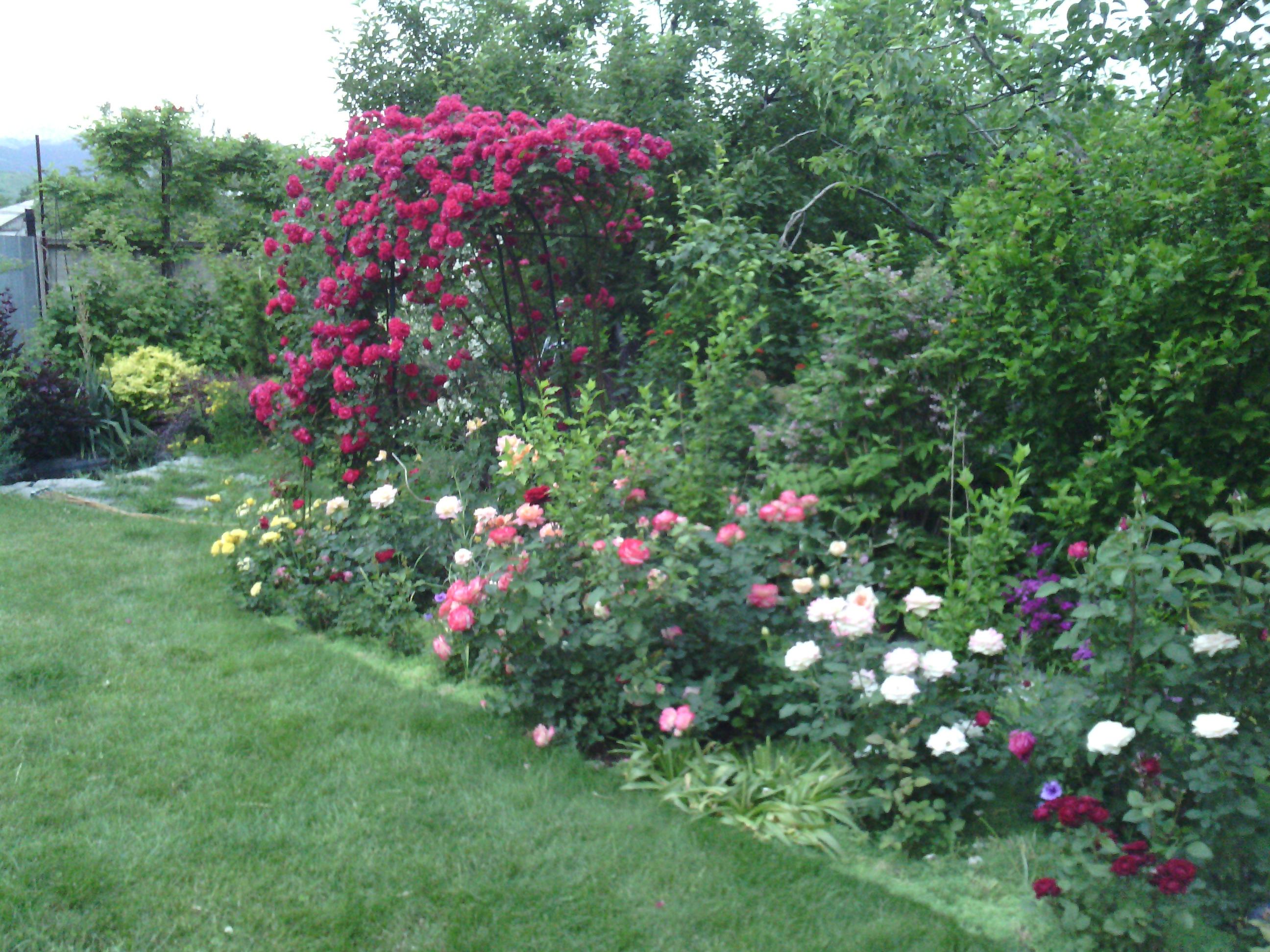 Морозостойкие розы канадской селекции  Публикации
