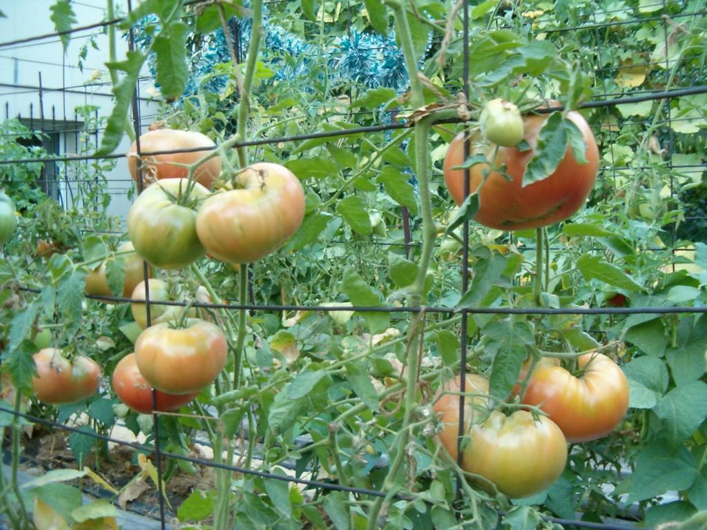 пасынки у томатов рвать снизу или сверху