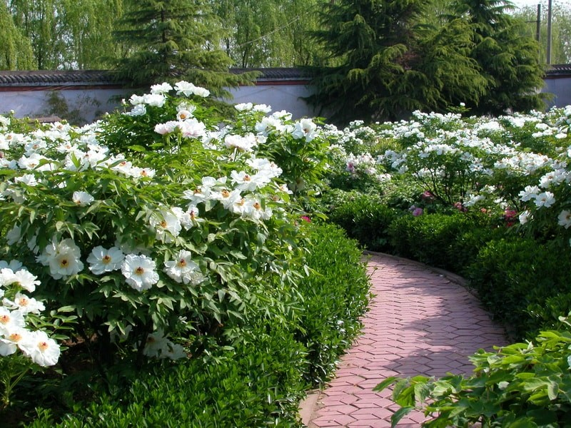 древовидный пион фото в саду в период цветения