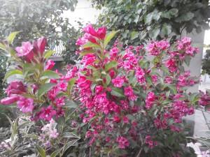 вейгела цветущая фото