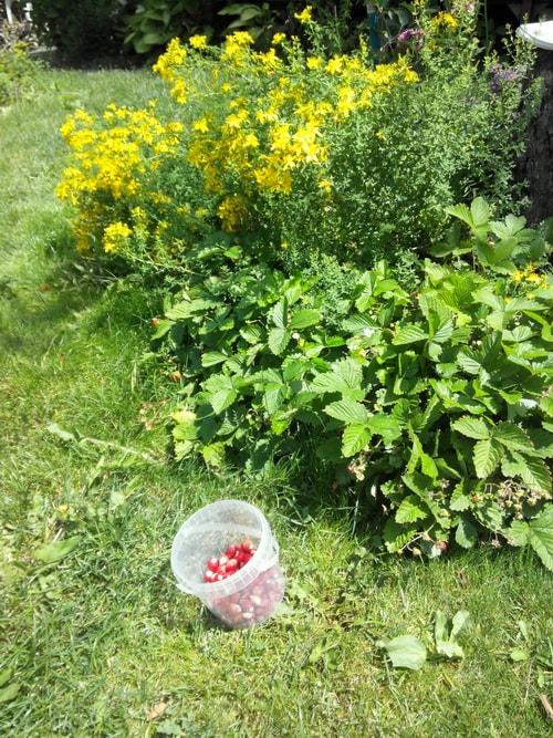 земляника безусая садовая посадка и уход