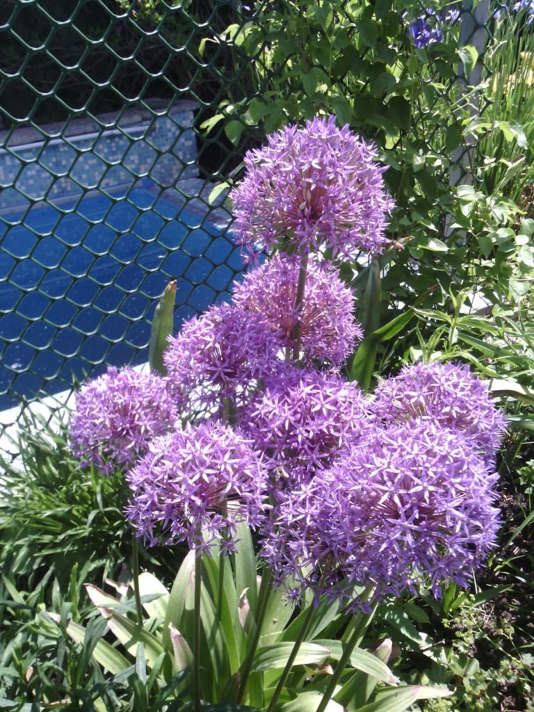 декоративный лук уместен в экологическом саду