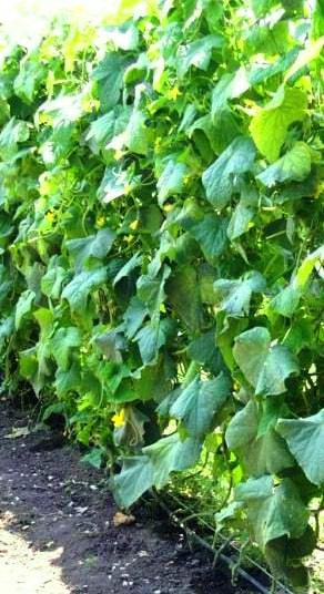 агротехника выращивания огурцов в открытом грунте на шпалере