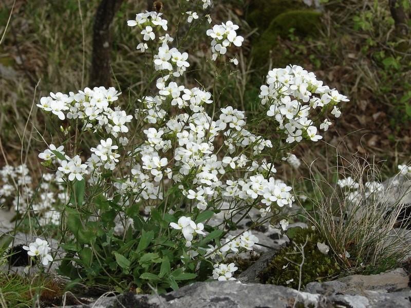 почвопрокровник Arabis caucasica