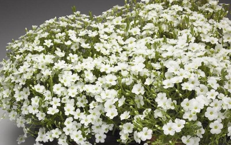 почвопокровние растение Arenaria Montana