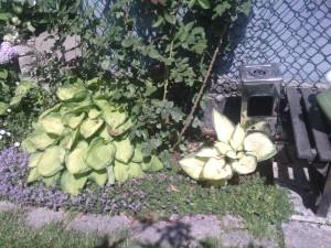 чабрец как стелющееся растение