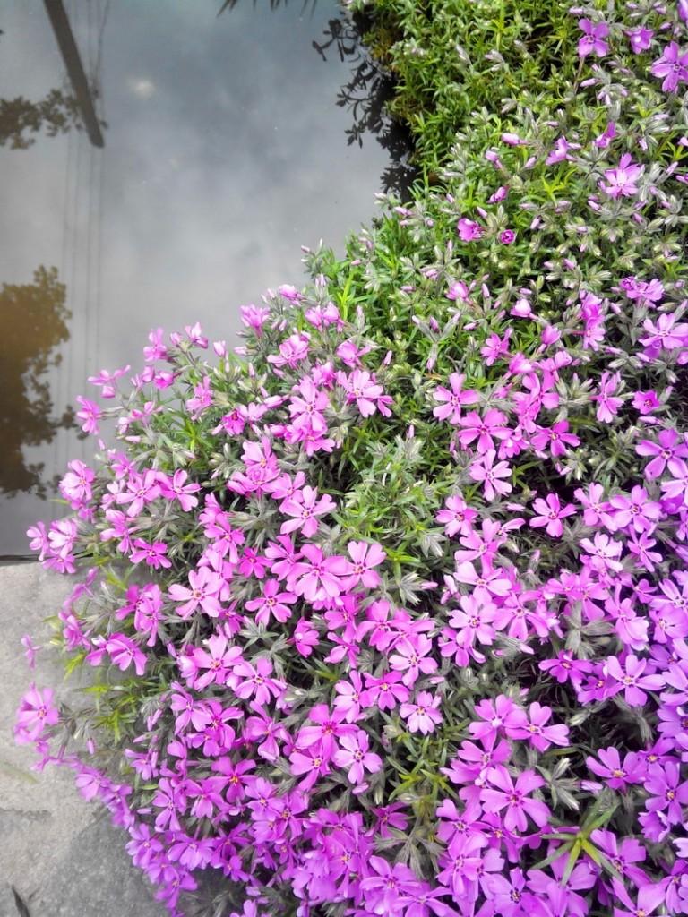 многолетние цветущие почвопокровники фото и название