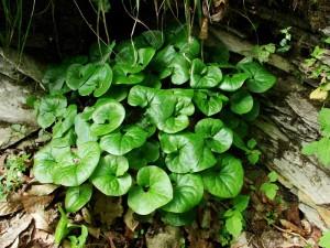 копытень - неагрессивное многолетнее почвопокровное растение для сада