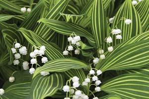 ландыш - почвопокровное растение для затененного сада