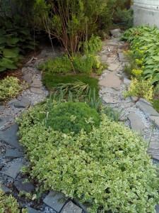 стелющееся растение барвинок в оформлении сухого ручья