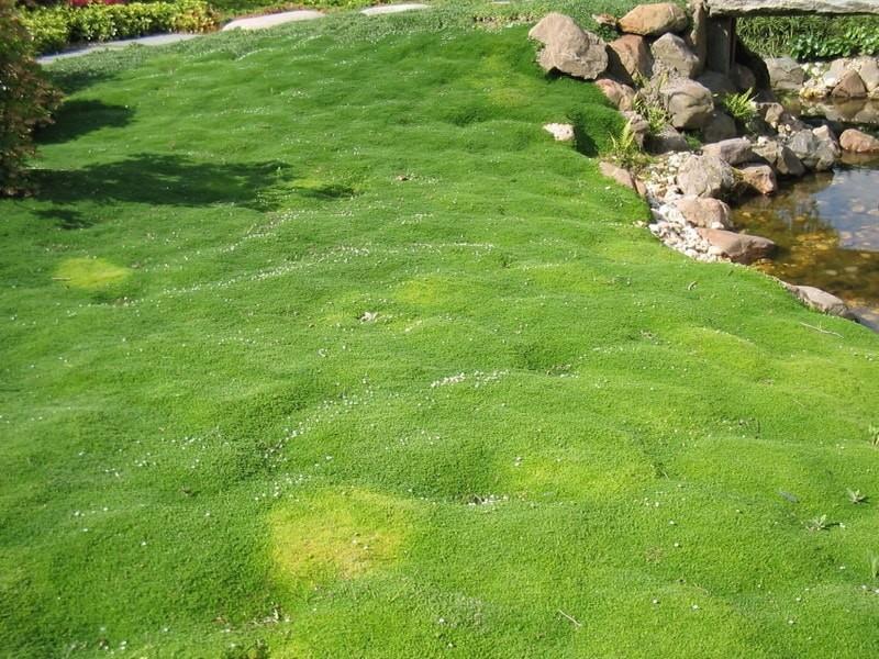почвопокровные многолетние растения мшанка