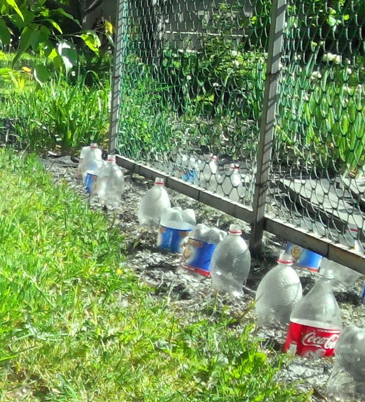 посадка семян огурцов в открытый грунт под пластиковые бутылки для защиты от слизней
