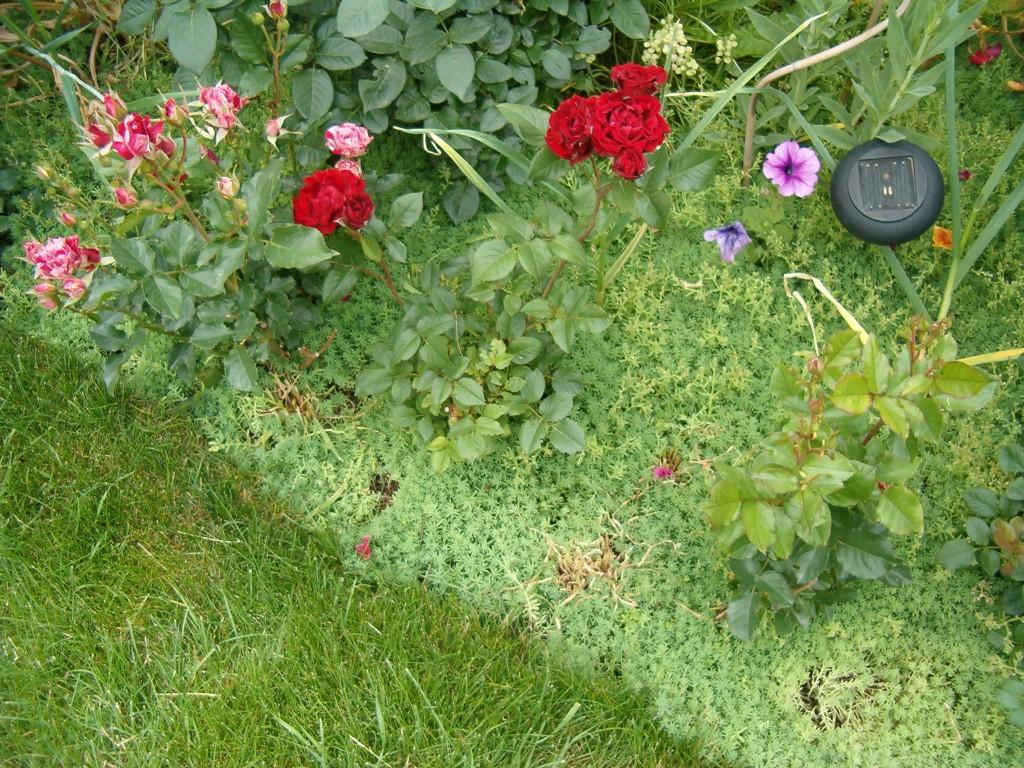 низкорослые почвопокровные растения фото и названия