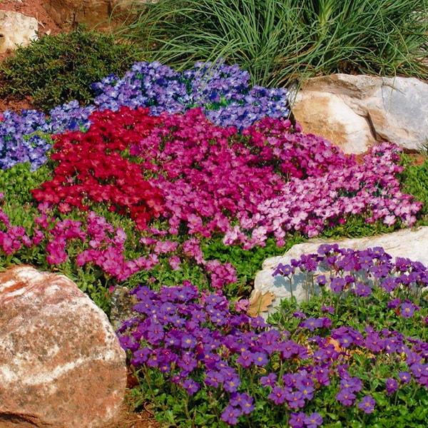 стелющиеся растения для сада фото