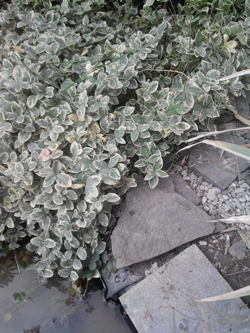 стелющиеся растения для дачи