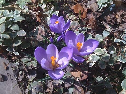 крокусы выращивание и уход в саду