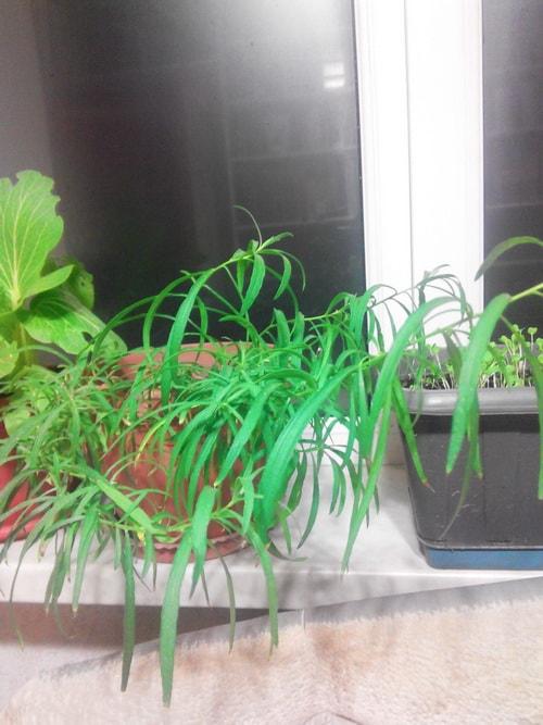 выращивание эстрагона из семян в домашних условиях