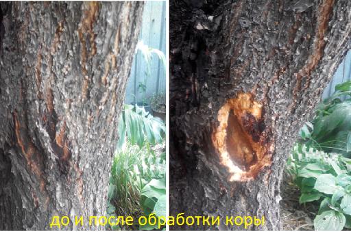 чем обработать дерево от короеда: защита от короеда (какие препараты, обработка коры)