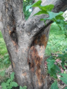 борьба с короедом на яблоне
