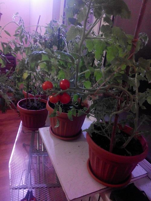 помидоры из семян на подоконнике