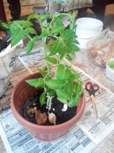 как вырастить помидоры на подоконнике в квартире