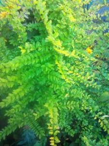 бирючина золотистая зимой не сбрасывает листья