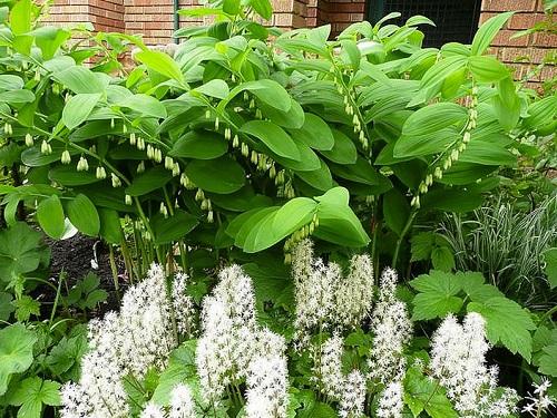 ползучее растение тиарелла