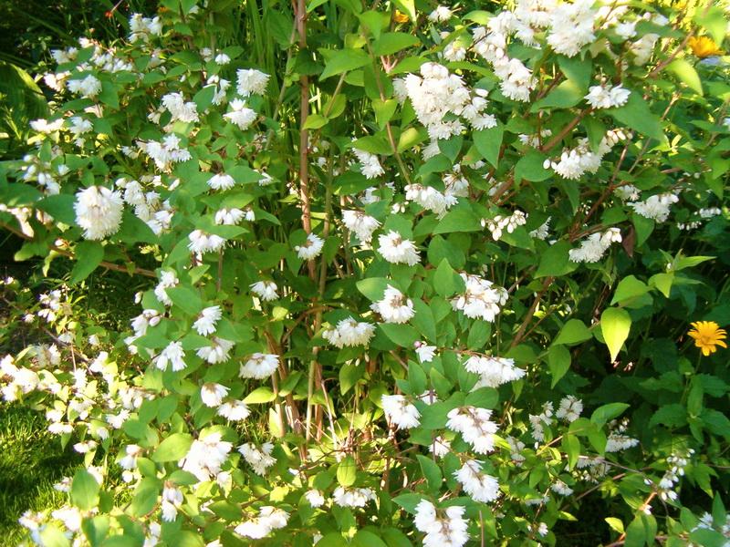 Многолетние тенелюбивые кустарники для сада  (фото и названия)
