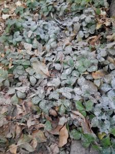 как подготовить землянику к зиме
