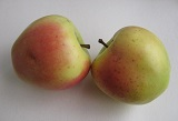 интенсивные сорта яблони