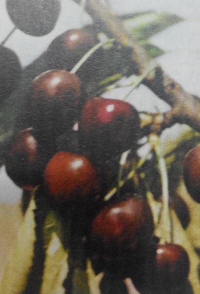 История черешни, группы бигарро и гини, дюки