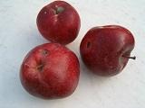 сорта яблок для интенсивного сада