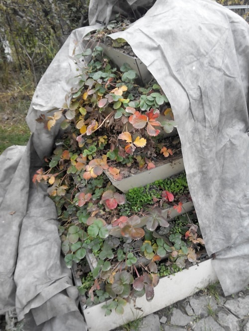 земляника укрытие на зиму