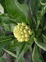 Романеско - интереснейший по форме вид капусты