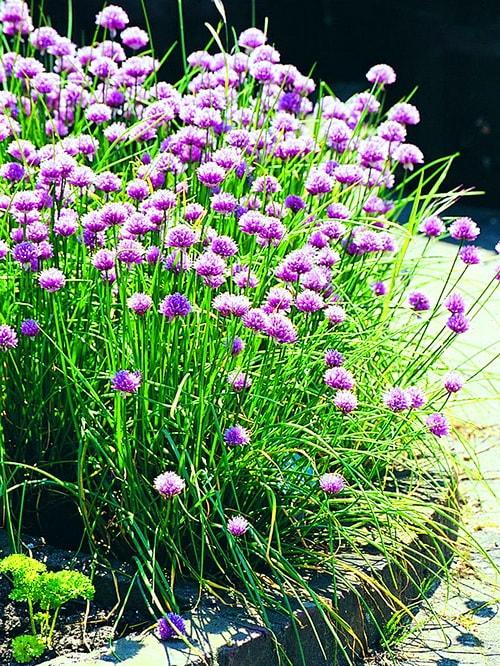 Что такое шнитт-лук и как его вырастить из семян: как и когда сажать, выращивание и уход с фото и видео