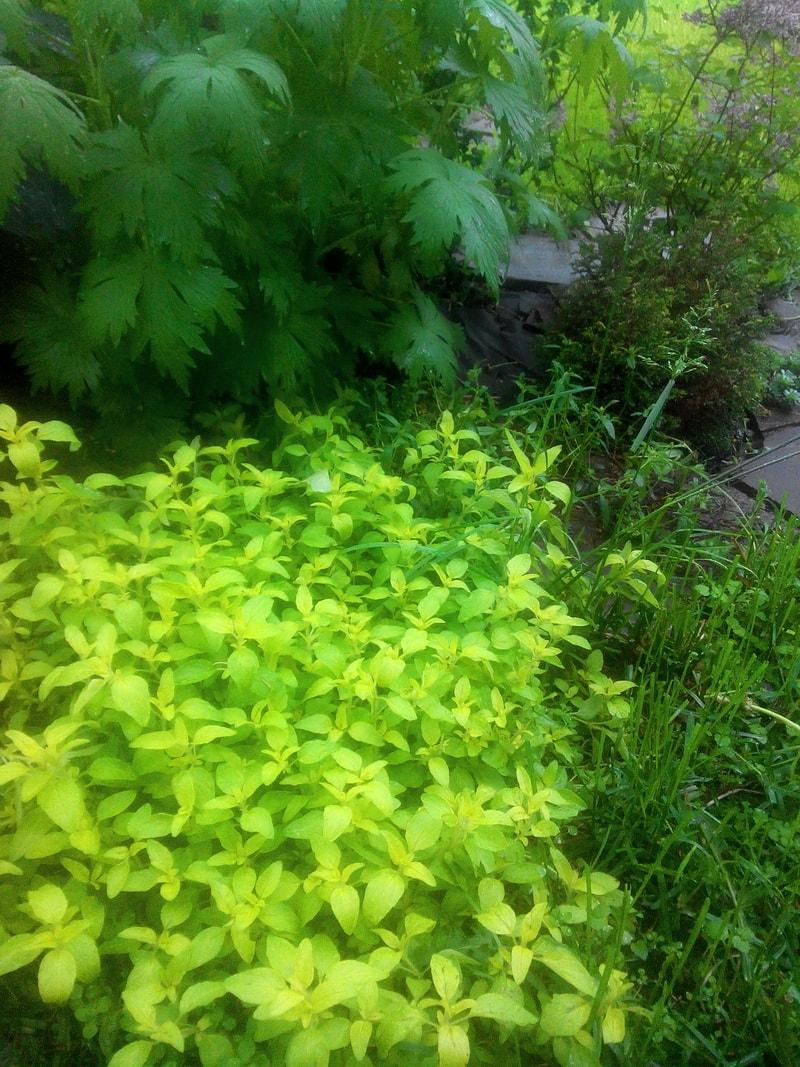 орегано хорошо приживается на среднеплодородных почвах