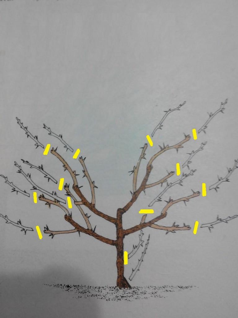 обрезка крыжовника весной схема фото