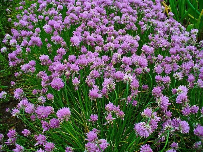 Выращивание лука-слизуна семенами и делением куста. Особенности агротехники лука слизуна.