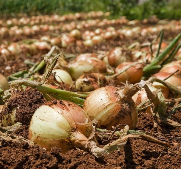 Выращивание лука-порея, полезные свойства, хранение 9