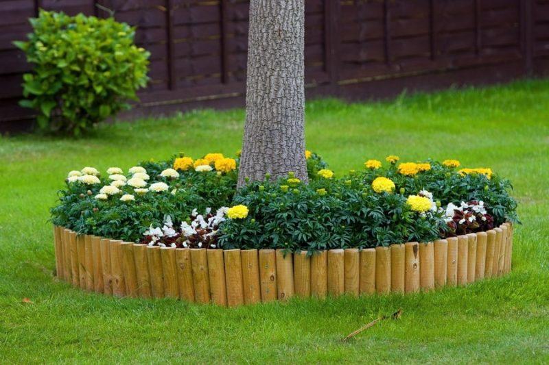 высадка бархатцев в приствольный круг и их применение в защите сада