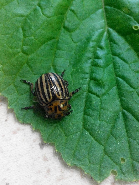 душистый табак от колорадского жука как применять