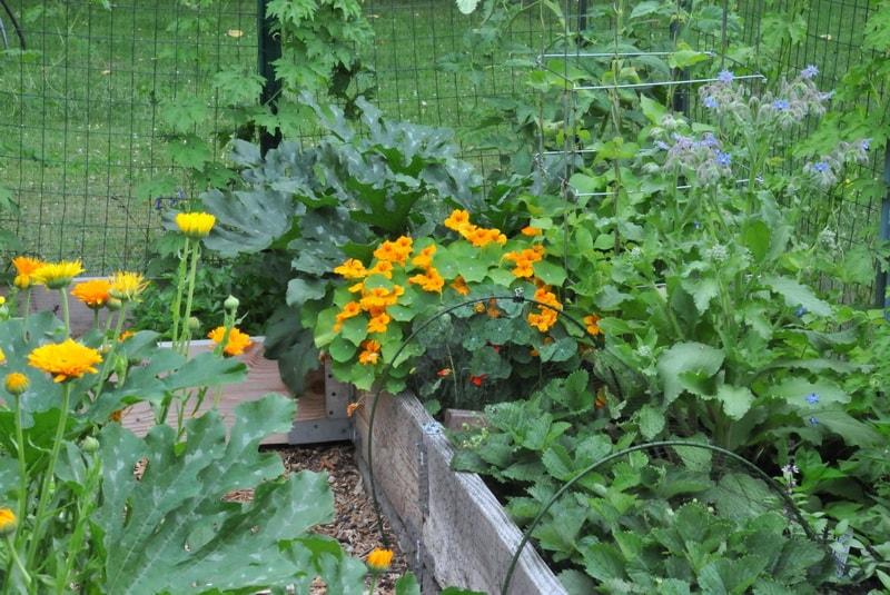 цветы настурция выращивание